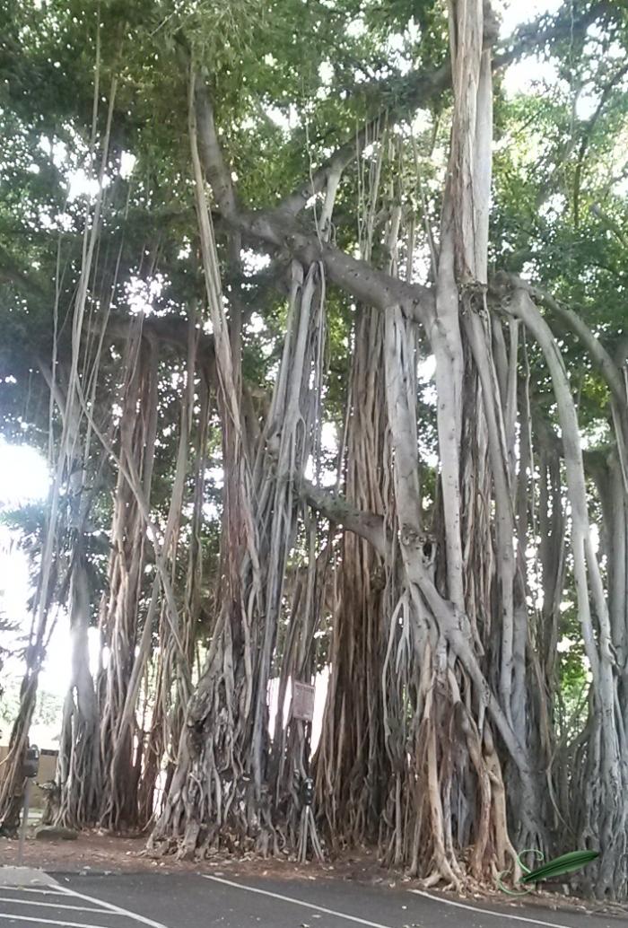 BanyanTreesOahu_ST